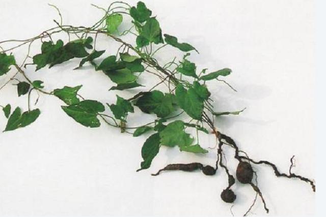 Fallopia multiflora