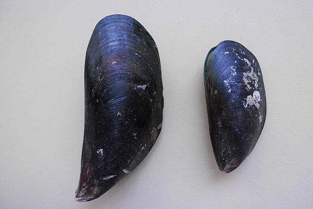 Perna viridis (Green mussel)
